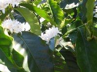 coffeeflower